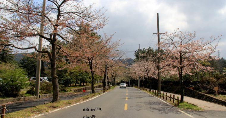 濟州島櫻花》老衡洞 春遊濟州之雨天後的櫻花也是粉美  노형동 벛꽃 @Gina Lin