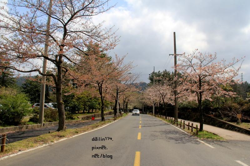 【濟州島櫻花】老衡洞賞櫻花|春遊濟州之雨天後的櫻花也是粉美 @GINA環球旅行生活
