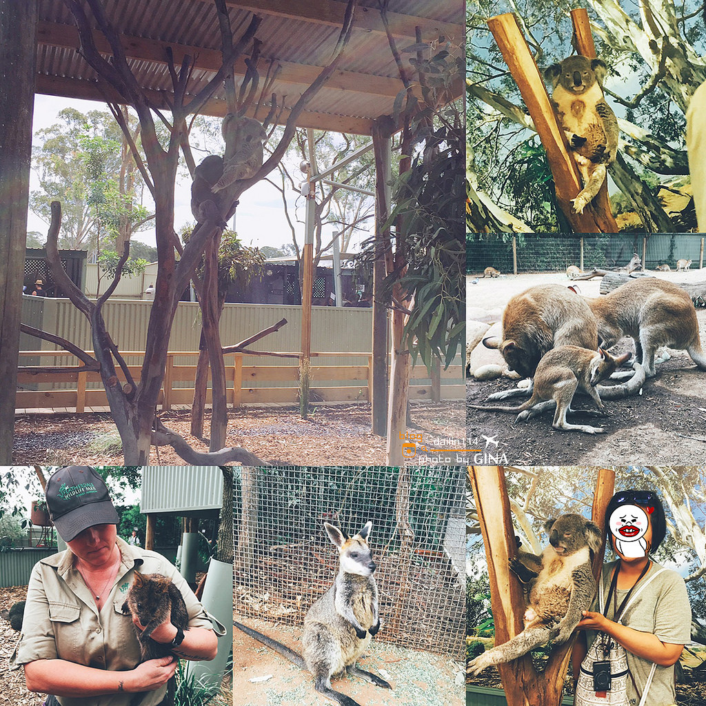 【雪梨景點】Featherdale 野生動物園|袋鼠、無尾熊一次滿足(免費跟無尾熊拍照哦!)悉尼一日團 @GINA環球旅行生活|不會韓文也可以去韓國