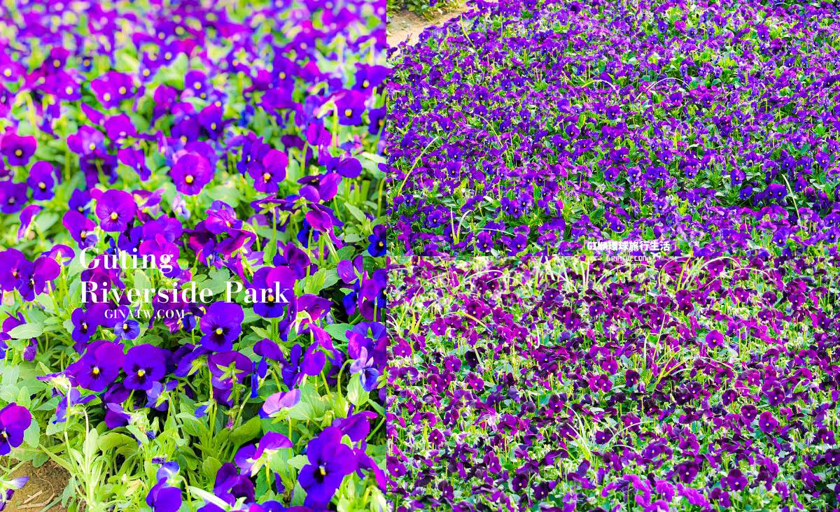 【古亭河濱公園花季】2021台北紫色花海|古亭河濱公園籃球場 @GINA環球旅行生活