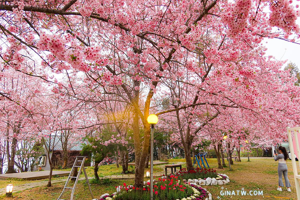 【拉拉山櫻花2021】美爆櫻花樹|恩愛農場、中巴陵櫻花道、光明農場、拉拉山遊客中心 @GINA環球旅行生活